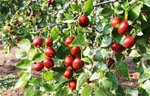 枣树落果是什么原因?