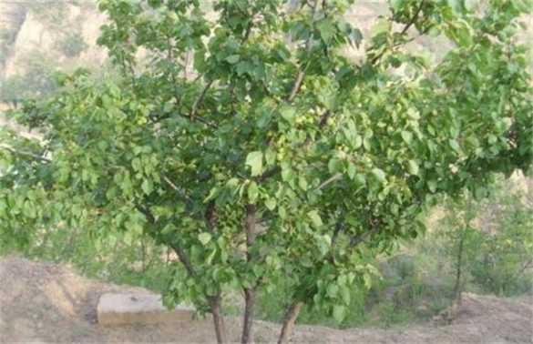 杏树采果后管理注意事项