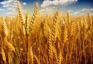 2021年8月30日全国各地市场今日小麦价格行情