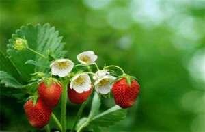 草莓保花保果技术