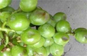 葡萄缩果原因与防治措施