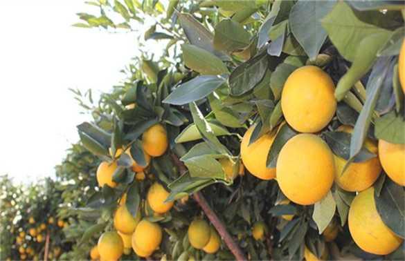 褚橙 种植 技术