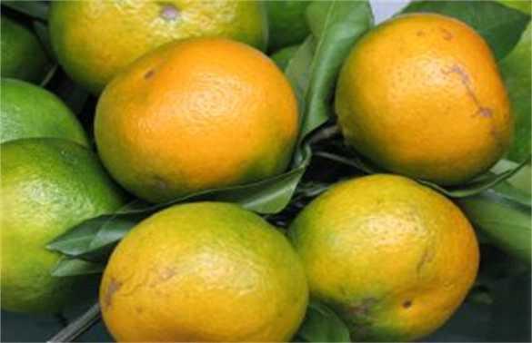 柑橘返青是什么原因造成