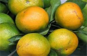 柑橘返青是什么原因造成的?