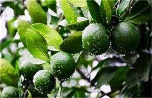 如何提高果树的坐果率?