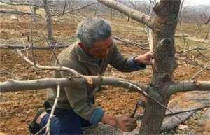 果树刮皮注意事项