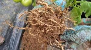 西红柿地根结线虫严重,如何防治?