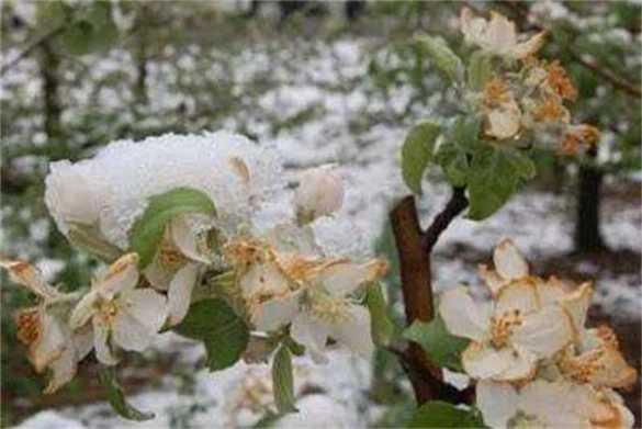 果树倒春寒怎样预防