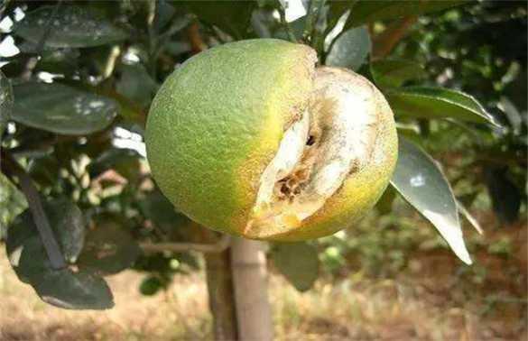 柑橘缺钙怎么办