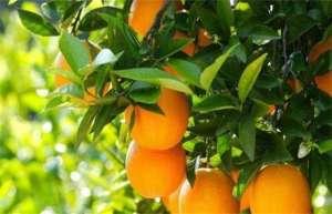 褚橙的种植技术