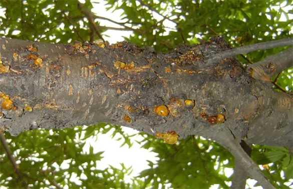 桃树流胶病的防治技术