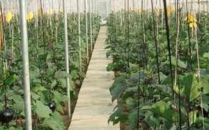 茄子苗高矮不齐的原因与防治措施