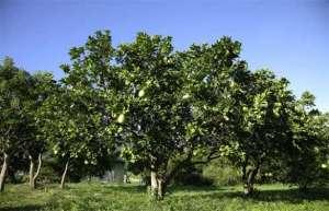 柚子树的管理要点