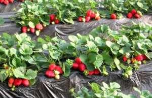 四季草莓种植技术