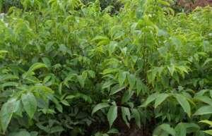 碧根果种植技术