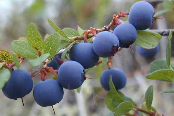 蓝莓的种植技术