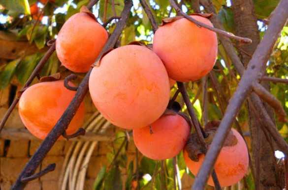 柿子的栽培技术