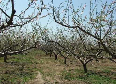 桃子的栽培技术