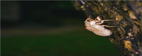 金蝉的养殖步骤