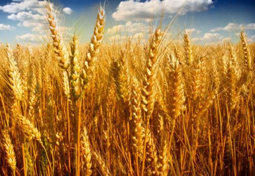 2021年9月29日全国各地市场今日小麦价格行情