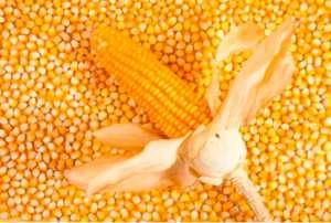 2021年9月29日国内主要产销区今日玉米价格