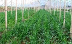 秋季韭菜育苗方法和注意事项
