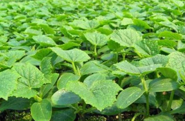 露地豇豆、黄瓜最迟什么时候播种?