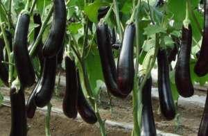 茄子剪枝再生高效栽培