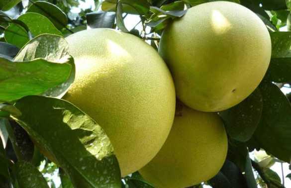 柚子的食用功效