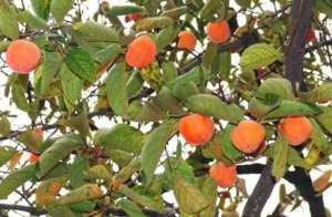 柿子树的管理技术