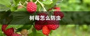 树莓怎么防虫?